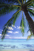 Palm tree, Aitutaki, Cook Islands<br />