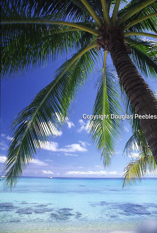 Palm tree, Aitutaki, Cook Islands<br />