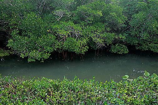 Florida, Refuges, Ding Darling National Wildlife Refuge. Mangroves growing along water.