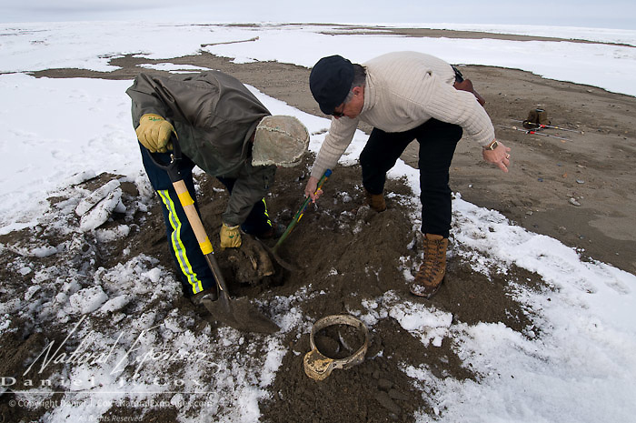 Dr. Steven Amstrup digs up the body of a female polar bear he tracked with a radio collar. He was unsure of caused her death. She was buried over by sand from ocean waves along the coast of the Beaufort Sea, .Alaska.