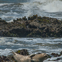 A harbor seal is apruptly awakened by chilly Pacific Ocean waves in a rising tide near Pescadero, California. These creatures spend long days fishing far from shore and need to bask and warm their flippers whenever they are able.