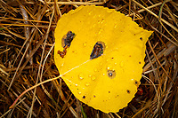 Fresh raindrops dot a fallen golden aspen leaf in the early morning sunlight.