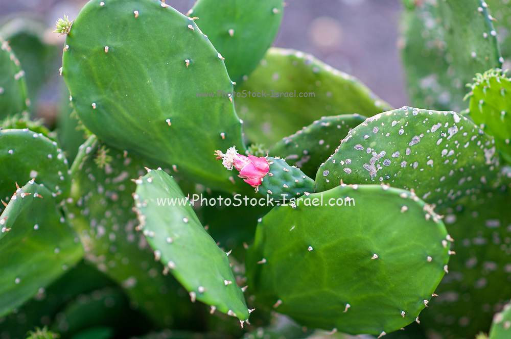 Pink flower of an Opuntia cactus , commonly called prickly pear, is a genus in the cactus family, Cactaceae photographed in a Cactus and succulent garden Photographed in Tel Aviv, Israel in May