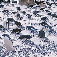 PENGUINS. Adelie Penguins (Pygoscelis adeliaein) snowy rookery at Brown Bluff, Antarctic Peninsula, Antarctica.