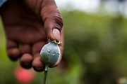 El CALVARIO, MEXICO - AUGUST 5, 2015: A man shows how the opium poppy pod is scratched to extract the crude opium, in the mountains close to the Chilpancingo city, the capital of the state of Guerrero, Mexico.  Rodrigo Cruz for The New York Times