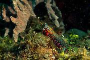 Eher selten zeigt der Bunte Fangschreckenkrebs (Odontodactylus scyllarus) seine Fähigkeit, frei im Wasser zu schwimmen; die paddelförmigen Beine erzeugen dabei den nötigen Vortrieb. | Peacock mantis shrimp (Odontodactylus scyllarus)