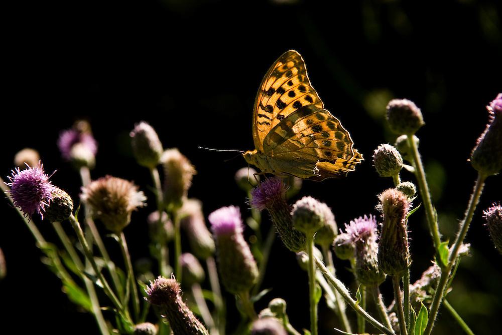 Griekenland,  omgeving Lamia,   10 juli 2007.Vaste land van Griekenland..Vlinders op bloeiende planten.Foto (c) Michiel Wijnbergh