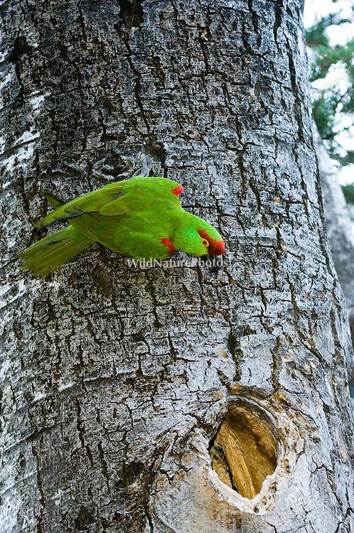 An endangered Thick-billed Parrot, Rhynchopsitta pachyrhyncha, nesting in Quaking Aspen