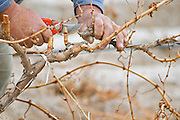 A vineyard worker doing winter pruning cutting down old branches with a secateur detail of hands Bodega Del Anelo Winery, also called Finca Roja, Anelo Region, Neuquen, Patagonia, Argentina, South America