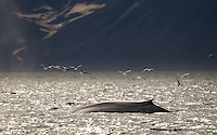 Blue Whale, Balaenoptera musculus, surfacing in the fjord north of Spitsbergen, Svalbard, Norway. Kittiwakes overhead.
