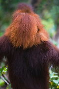 From behind, the fur of a young orangutan juvenile (Pongo pygmaeus) is  much lighter in color in comparison as he is riding on his mother's shoulders , Borneo, Indonesia