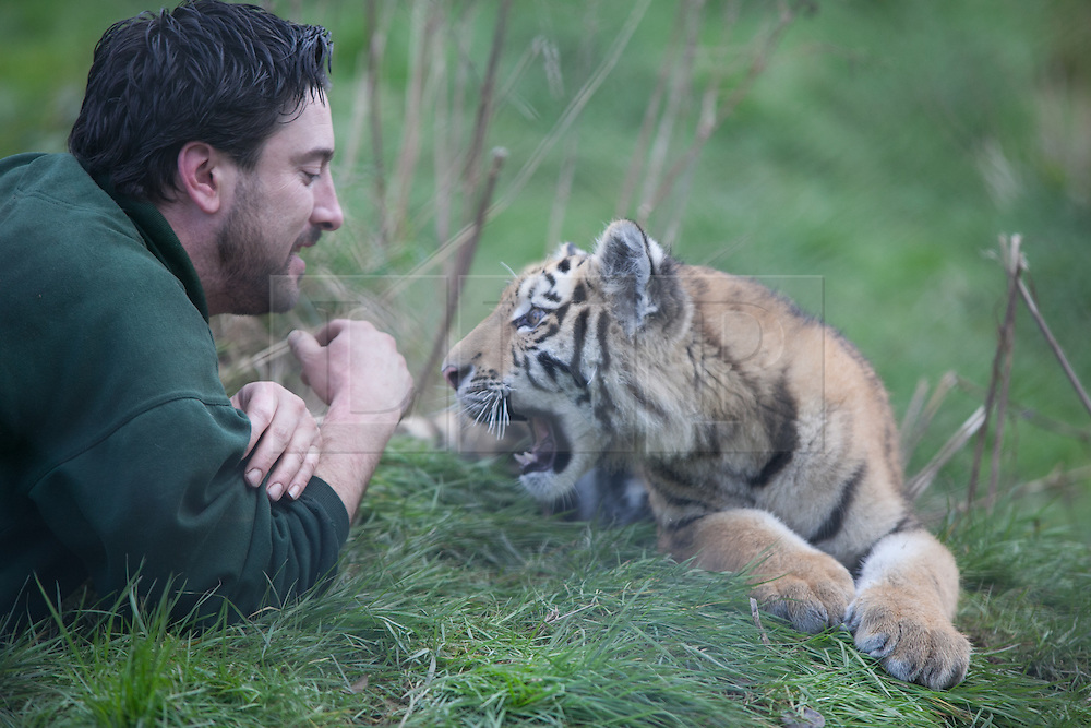 © London News Pictures. 04/02/2013.Head of Large Carnivore Section Ben Warren plays with endamgered Siberian cub Kazimir. Howletts Wild Animal Park in near Canterbury, Kent, officially announces endangered Siberian cubs debut. Siberian or Amur tigers are endangered in the wild and it is estimated that only 400 remain. Picture credit should read Manu Palomeque/LNP