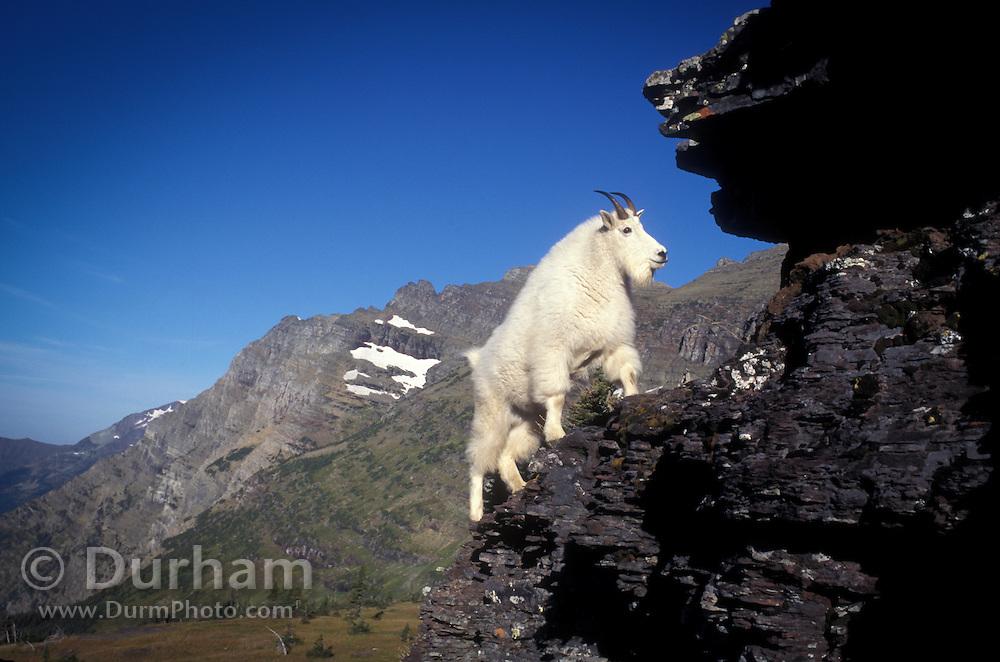 A male mountain goat (Oremanos americanus) climbing up a rock face near Logan Pass in Glacier National Park, Montana.