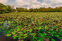 Basawkkulama water tank covered with lily pads, Anuradhapura is one of the ancient capitals of Sri Lanka, famous for its well-preserved ruins of an ancient Sri Lankan civilization.
