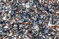 Shells washed upon the beach, Arniston, Western Cape, South Africa,