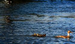 06-04-2007 NATUUR: FLORA EN FAUNA: MAARSSEN<br /> Wilde eend met 10 jonge eendjes op de Vecht<br /> ©2007-WWW.FOTOHOOGENDOORN.NL