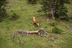 THEMENBILD - eine Kueh auf einer Almweide am Hintersee, aufgenommen am 23. Juni 2019 in Mittersill, Österreich // a Cow on a mountain pasture at the Hintersee, Mittersill, Austria on 2019/06/23. EXPA Pictures © 2019, PhotoCredit: EXPA/ JFK