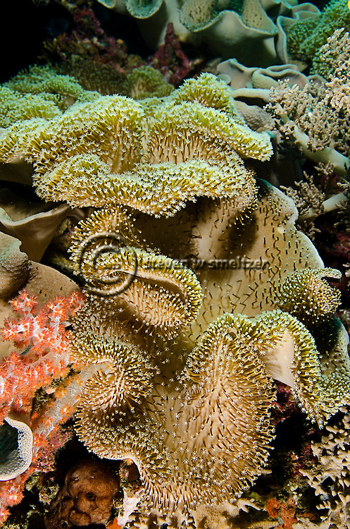 Leather Coral, Sacrophyton trocheliophorum, Bali Indonesia