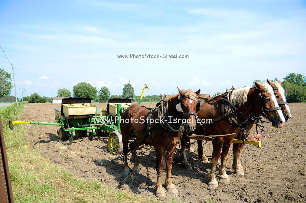 Amish Farm, New York, USA a Team of horses draws a manual plow