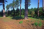A088N7 Pine trees Rendlesham forest Suffolk Sandlings Suffolk England