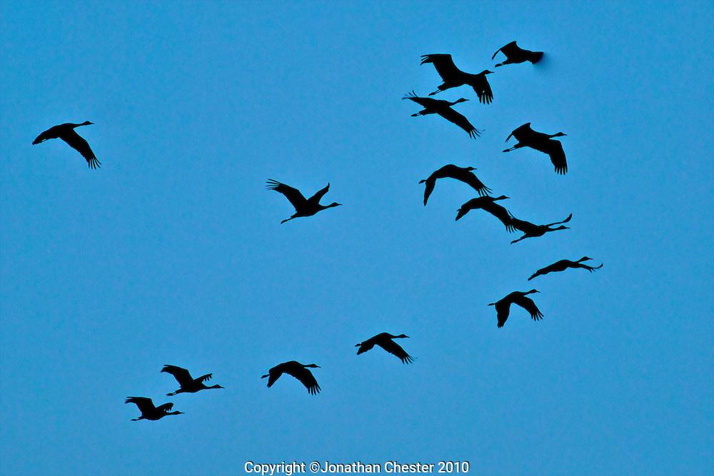 Sand Hill Cranes, Rowe Audubon Sanctuary,Nebraska.Platt River,