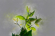 Digitally enhanced image of Green Lemon tree leaves on a blue sky background