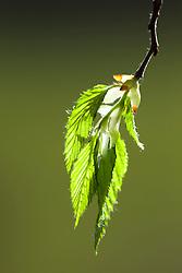 Fresh young leaves of hornbeam