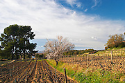 View over the vineyard in spring, vines in Cordon Royat training, with an almond tree in bloom blossom. Mourvedre Domaine de la Tour du Bon Le Castellet Bandol Var Cote d'Azur France