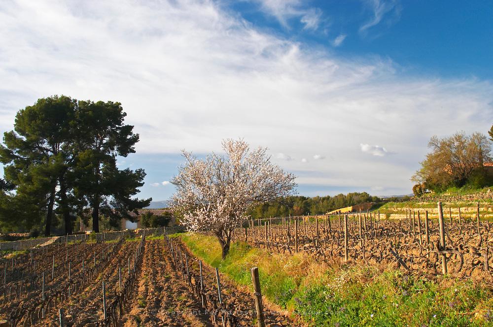 View over the vineyard in spring, vines in Cordon Royat training, with an almond tree in bloom blossom. Mourvedre Domaine de la Tour du Bon Le Castellet Bandol Var Cote d'Azur France