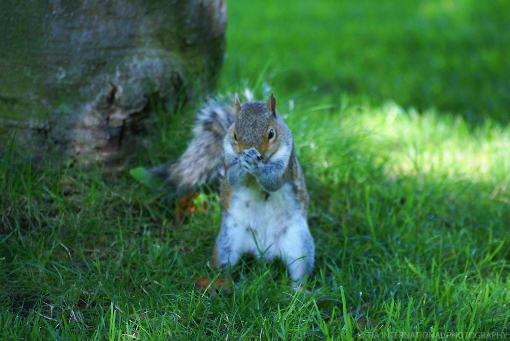 Squirrel @ Chittenden Locks, Ballard