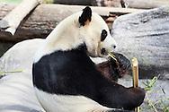 Da Mao, Male Adult Chinese Giant Panda at Toronto Zoo