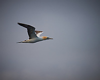 GNorthern Gannet in Flight North of Scotland from the Deck of the MV Explorer. Image taken with a Nikon Df camera and 70-200 mm f/4 VR lens (ISO 100, 200 mm, f/4, 1/500 sec). Raw image processed with Capture One Pro, Focus Magic, and Photoshop CC.