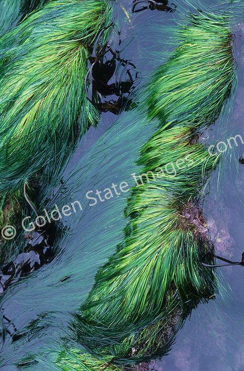 Species: Phyllospadix scouleri