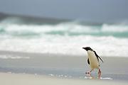 The rockhopper penguin (Eudyptes chrysocome) can - at the first glance - be confused with the other species of crested penguins, but the only thin, light yellow supercilium (eyebrow) which does not fuse on the forehead, and the bright red eyes are distinctive. |  Der Felsenpinguin (Eudyptes chrysocome) ähnelt den anderen Schopfpinguinarten, ist aber an seinen leuchtend roten Augen und der nur dünnen, an der Stirn nicht zusammenlaufenden Augenbrauen-Linie zu erkennen.