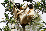 Madagascar, Crowned Sifaka (Propithecus coronatus) on a tree. Endemic to Madagascar. It has a length of 87 to 102 centimeters, of which 47-57 centimeters are tail. The Crowned Sifaka lives in western Madagascar in dry deciduous forest