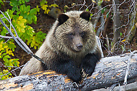 Grizzly bear yoy cub, British Columbia, Canada