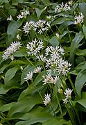 Wild garlic flowers and leaves, allium oleraceum, Devon, U.K.