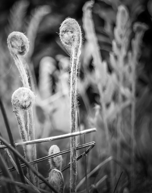 Fiddlehead ferns in late summer seen at Crandberry Glades WV.