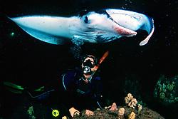 woman scuba diver and reef manta ray or coastal manta, Manta alfredi, feeding at night, Kona Coast, Big Island, Hawaii, USA, Pacific Ocean