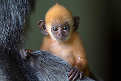 A new born silver Leaf monkey is pictured on her mother's lap at Labuk bay, on August 5, 2019 near Sandakan city, State of Sabah, North of Borneo Island, Malaysia. Palm oil plantations are cutting down primary and secondary forests vital as habitat for wildlife including the critically endangered silver monkeys. Photo by Emy/ABACAPRESS.COM