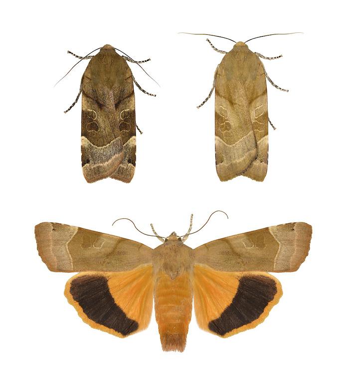 Broad-bordered Yellow Underwing - Noctua fimbriata - 73.343 (2110)