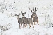 Mule deer (Odocoileus hemionus)trophy buck with does in heavy snow
