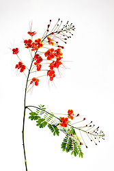 Pride of Barbados tree, caesalpinia pulcherrima #9
