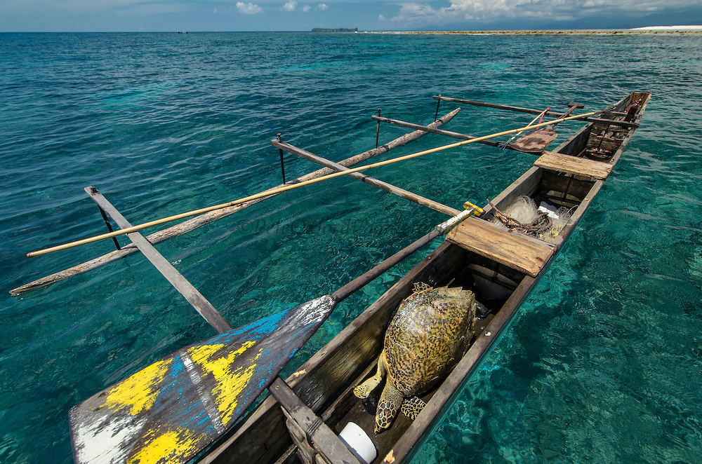 Hawksbill Turtle (Eretmochelys imbricata)<br /> caught by<br /> Local Papuan fisherman<br /> Half Island<br /> Cenderawasih Bay<br /> West Papua<br /> Indonesia<br /> Using spear and outrigger canoe