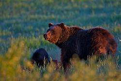 """Grizzly Sow Morning sun, Grand Teton National Park.  Grizzly Bear 610.<br /> <br /> For production prints or stock photos click the Purchase Print/License Photo Button in upper Right; for Fine Art """"Custom Prints"""" contact Daryl - 208-709-3250 or dh@greater-yellowstone.com"""
