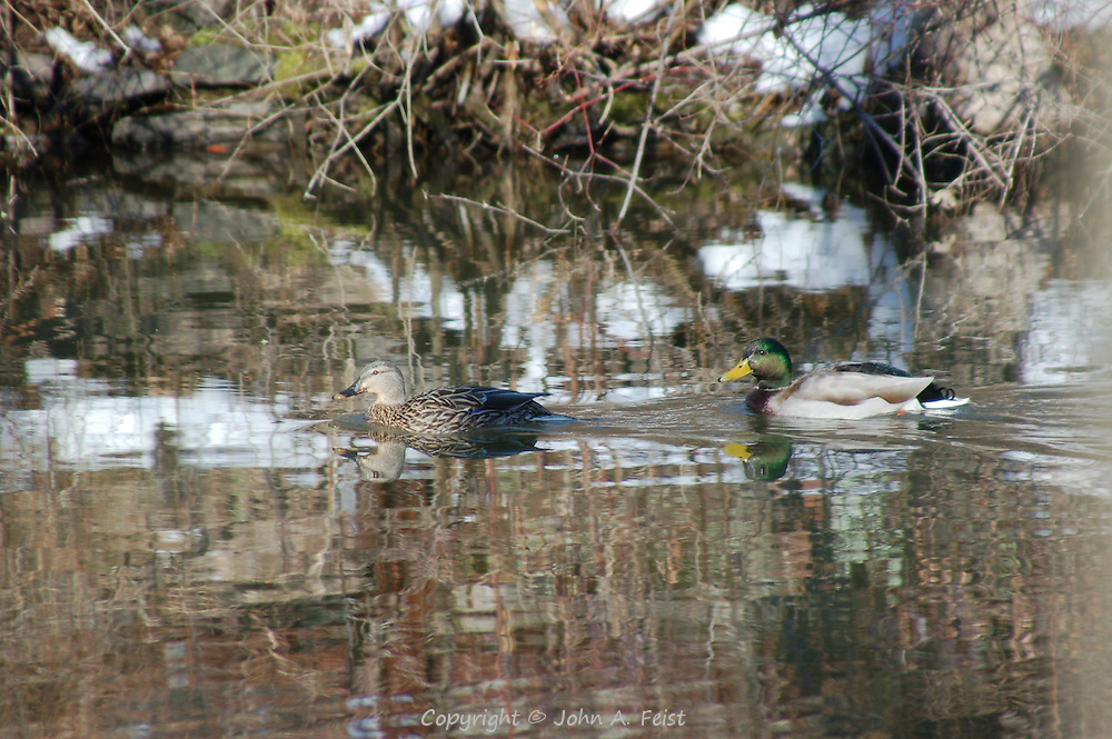 A pair of ducks, duck and drake, taking a swim on the D and R canal in Hillsborough, NJ.  The sun creates some interesting reflections including the snow on the bank.