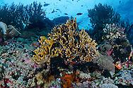 Coral Garden, Fire Corals, Bali Indonesia