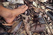 A live specimen of Theraphosa leblondi, the world's largest tarantula before being fire-roasted, by Yanomami boys, in Sejal village, near the Orinoco River, Venezuela. Image from the book project Man Eating Bugs: The Art and Science of Eating Insects.
