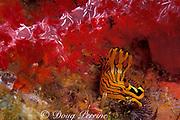 nudibranch or sea slug, Tambja affinis ( Polyceridae ),<br /> feeding on bryozoan, Similan Islands, Thailand ( Andaman Sea - Indian Ocean )