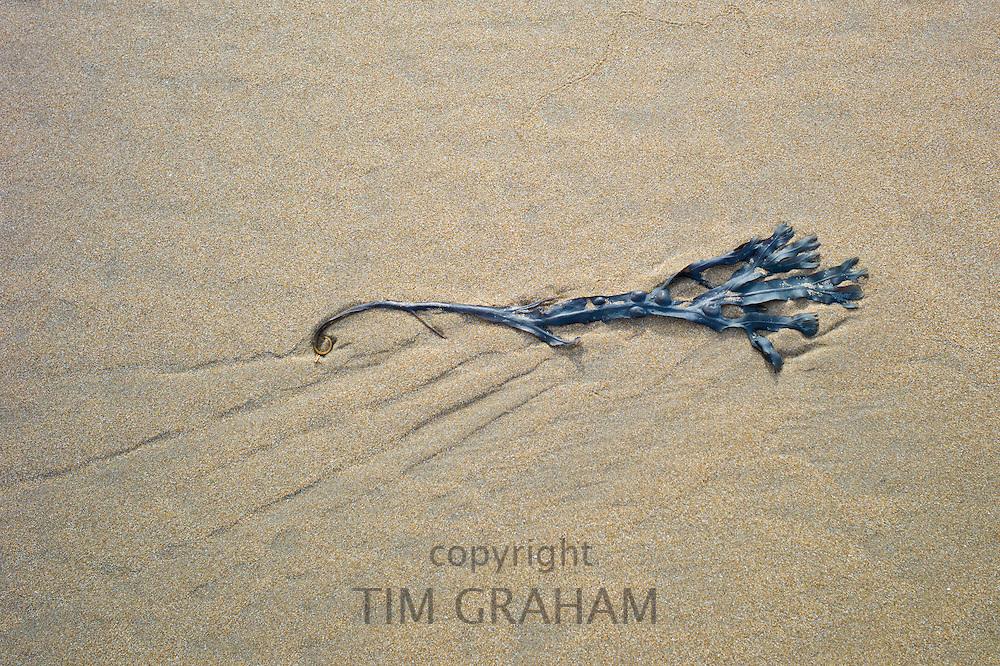 Bladderwrack seaweed, Fucus vesiculosus, on sandy beach at Woolacombe, North Devon, UK
